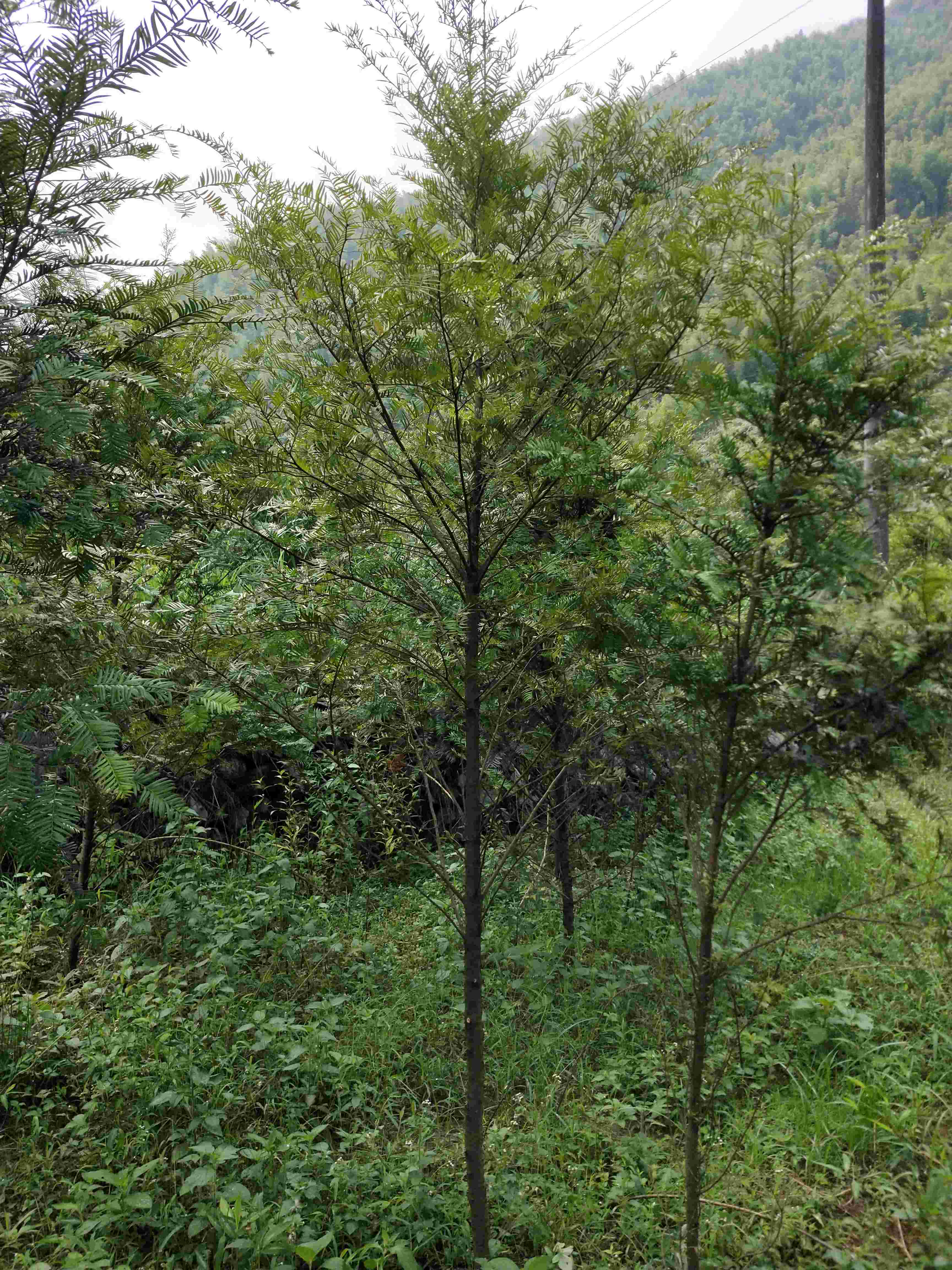 基地直供—红豆杉