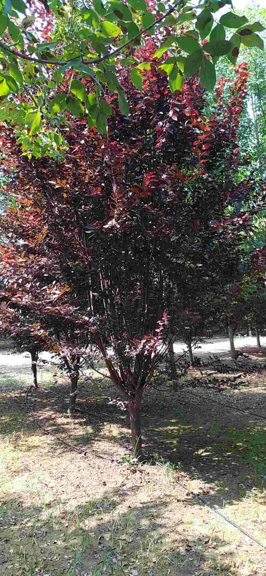 紫叶李红叶李苗圃直销